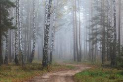 Бярозавы гай у восеньскай імгле